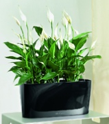 office-plants-spathiphyllum