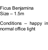 Ficus Benjamina Size – 1.5m  Conditions – happy in normal office light
